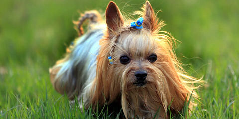 Just Divine Yorkies - Dog Breeders