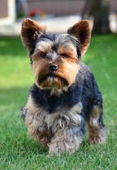 ace puppy - Dog Breeders