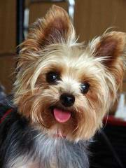Priceless Yorkie Puppy - Dog Breeders