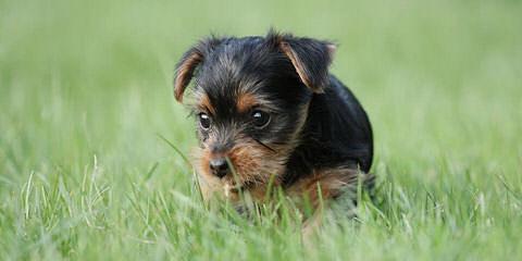 yorkieland - Dog Breeders