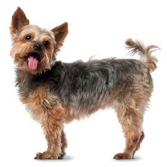 Mirage Yorkies - Dog Breeders