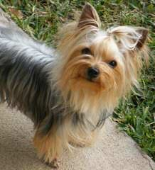Tiny Male Yorkie - Dog Breeders