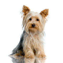 Biewer Yorkshire Terrier A La Pom Pon - Dog Breeders