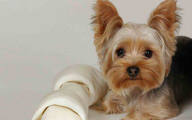 West Alabama Yorkies - Dog and Puppy Pictures