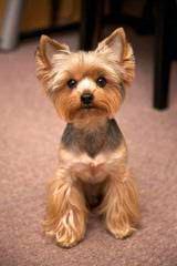 Jackson's Yorkie Terriers - Dog Breeders