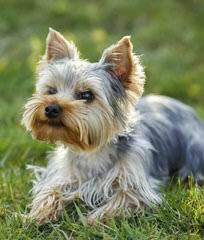 Litter Trained Reg. Yorkshire Terrier Pups - Dog Breeders
