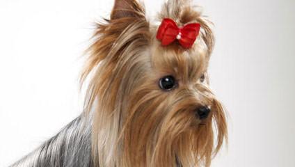 Car-Mir-Jac Yorkies - Dog Breeders
