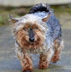 Yorkshire Terriers For Sale - Dog Breeders