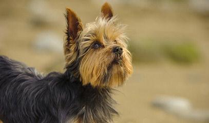 Yorkies in the Woods - Dog Breeders