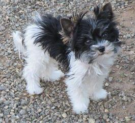 Tiny Male Yorkie - Dog and Puppy Pictures