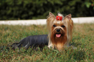 Jackson's Yorkshire Terriers - Dog Breeders
