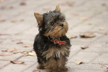 Darlene Ciomperlik - Dog Breeders