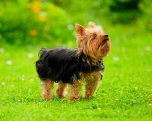 Hartlan Yorkies - Dog Breeders