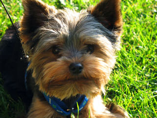 Highsteppin' Kennel Yorkshire Terriers - Dog Breeders