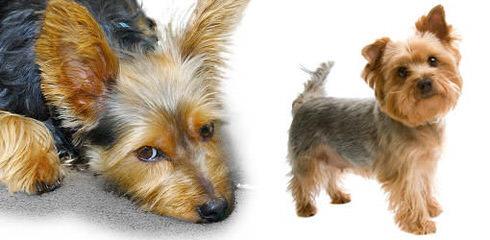 Jackson's Yorkshire Terriers - Dog Breeders