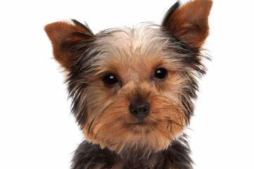 Little Yorkie Wonderland - Dog Breeders