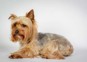 Priceless Yorkie Puppy - Dog Breeders