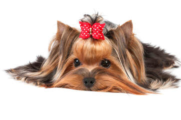 Gorgeous Yorkie Puppies For Sale - Dog Breeders
