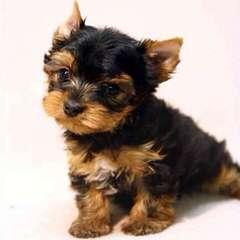 Yorkies -R- Us - Dog Breeders