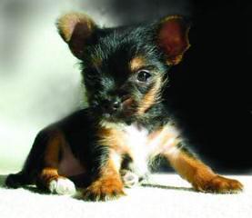 Yorkie Puppies - Dog Breeders