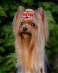 Misty Hollow Kennels – Yorktese (Morkies), Yorkshires, And Maltese - Dog Breeders