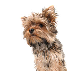 Yorkies - Dog Breeders