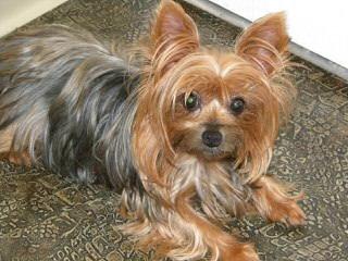 Let's Talk Yorkie - Dog Breeders