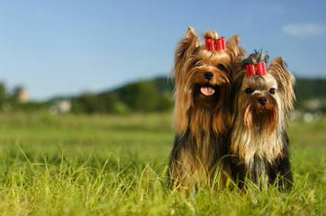 Nevaeh Yorkies & Biewers - Dog Breeders