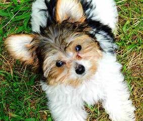 Beyounce - Dog Breeders