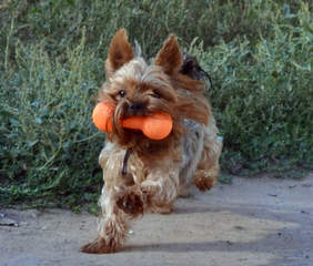 Champion Yorkies Puppies - Dog and Puppy Pictures