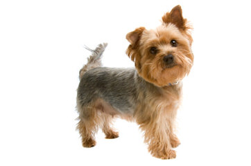 Denning Farms Yorkshire Terrier - Dog Breeders