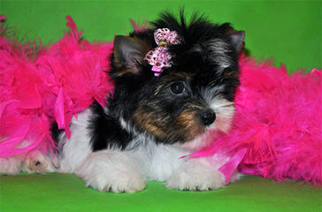 Baby Doll Yorkie Puppies - Dog Breeders