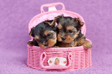 Equisite Tiny Tea Cup Baby Doll Face Yorkie Puppie - Dog Breeders
