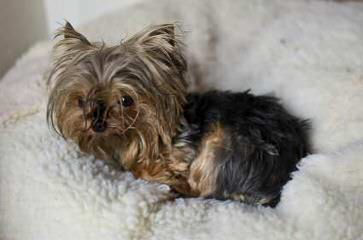 Yorkie Puppies - Dog Breeders
