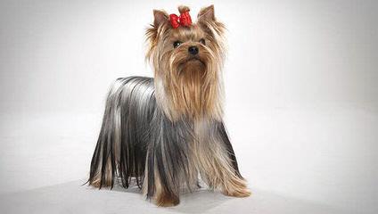 Yorkshier Terriers - Dog Breeders