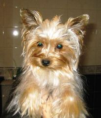 Misty Hollow Kennels – Yorktese (Morkies), Yorkshires, And Maltese - Dog Breeders