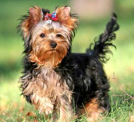 Glenmore Yorkies - Dog Breeders