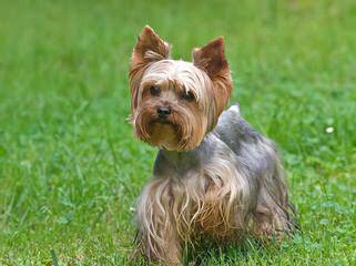 Silky Terrier Puppies - Dog Breeders