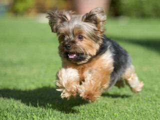 Denning Farms Yorkshire Terrier - Dog Breeders