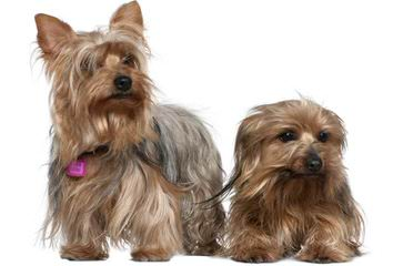 Sunset's toy breed puppies - Dog Breeders
