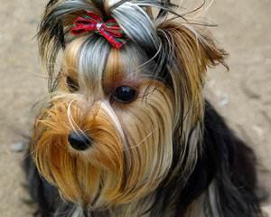 Living Doll Yorkies - Dog Breeders