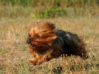 Sweet Baby Yorkies - Dog Breeders