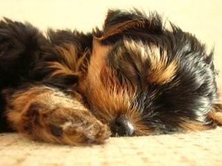 Yorkie Luv - Dog Breeders