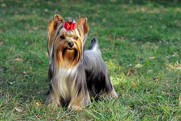 Yorkshire Terrier – Only 4 Left - Dog Breeders