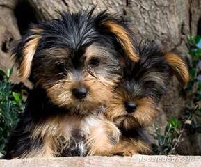 Jackson Yorkies - Dog Breeders