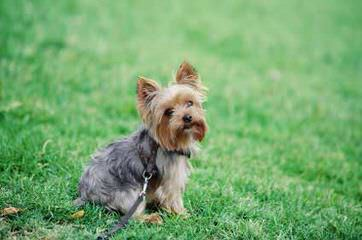 Yorkshire Terrier Pups - Dog Breeders