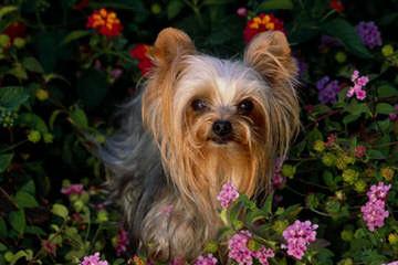 Yorkshire Terrier Pups - Dog Breeders
