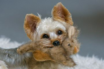 G and G`s Little Angels - Dog Breeders