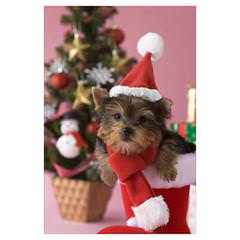 Small Yorkshire Terrier Female - Dog Breeders