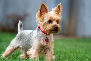 Tiny Yorkie Kisses - Dog Breeders